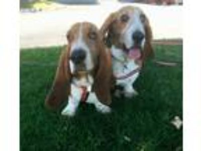 Adopt Ruby a Tan/Yellow/Fawn - with White Basset Hound / Mixed dog in Whittier