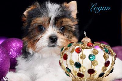Biewer Terrier PUPPY FOR SALE ADN-108967 - Logan male biewer