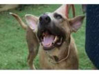 Adopt Ralphie M a German Shepherd Dog, Great Dane
