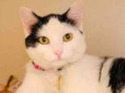 Adopt KATIE a Domestic Short Hair
