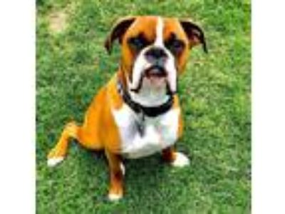 Adopt Tyson a Brown/Chocolate - with White Boxer dog in Frisco, TX (25908368)