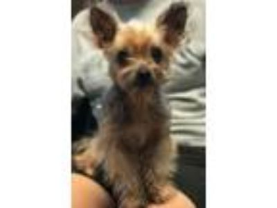 Adopt Bailey CG in MS a Yorkshire Terrier