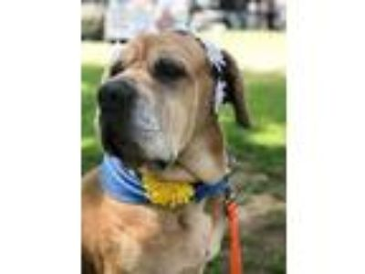 Adopt Buttercup a Tan/Yellow/Fawn - with White Mastiff / Mixed dog in Santa
