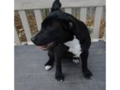 Adopt Molly a Black - with White Retriever (Unknown Type) / Border Collie dog in