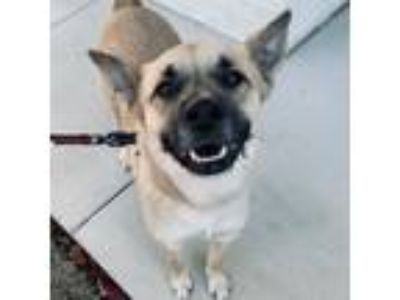 Adopt Hanna a Tan/Yellow/Fawn - with Black German Shepherd Dog / Labrador