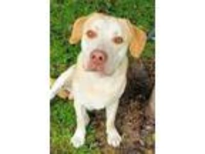 Adopt Angus a Labrador Retriever, Mixed Breed