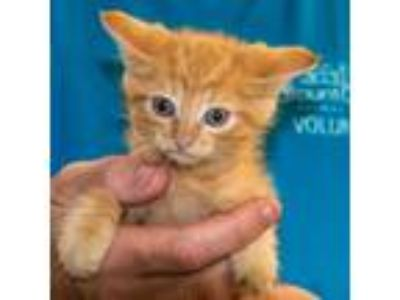 Adopt Czar a Orange or Red (Mostly) Domestic Shorthair / Mixed (short coat) cat