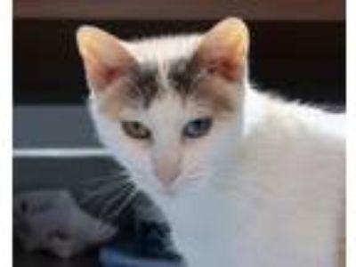 Adopt PRIMROSE a Domestic Short Hair