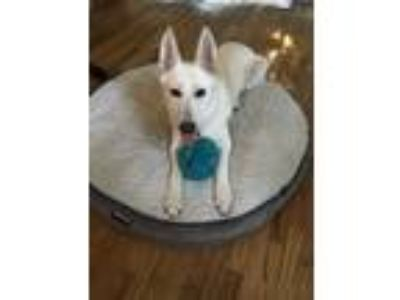 Adopt Luna a White German Shepherd Dog / German Shepherd Dog / Mixed dog in