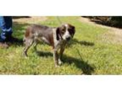 Adopt Chicky a German Shorthaired Pointer, Bluetick Coonhound