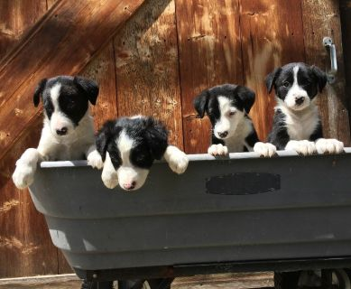 Border Collie Puppies!
