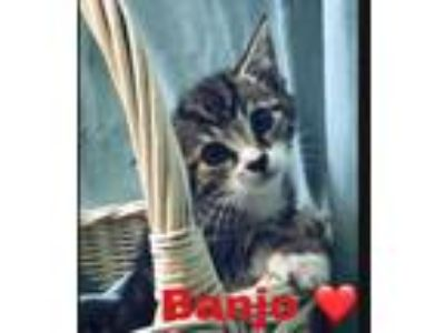 Adopt Banjo a Brown or Chocolate Domestic Shorthair / Domestic Shorthair / Mixed