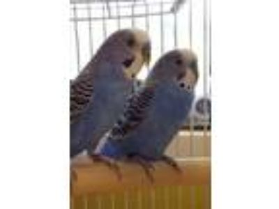 Adopt Onyx a Blue Budgie / Budgie / Mixed bird in Auburn, WA (25530554)