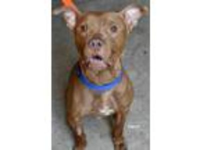 Adopt Finley a Brown/Chocolate American Pit Bull Terrier / Mixed dog in Niagara