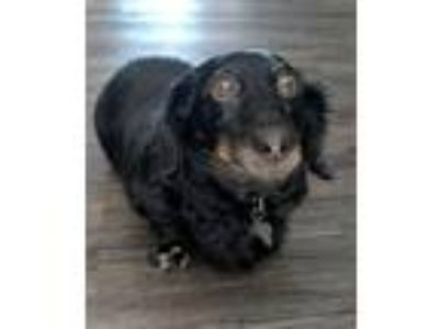Adopt BB - NOW AVAILABLE! a Dachshund