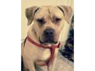 Adopt Tank a Tan/Yellow/Fawn Mastiff / Mixed dog in Southbury, CT (24783717)