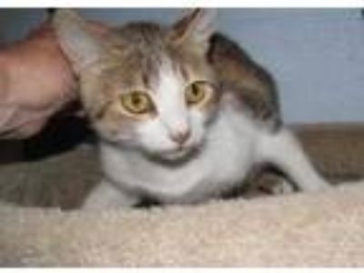 Adopt TRUDY a White Domestic Shorthair / Domestic Shorthair / Mixed cat in