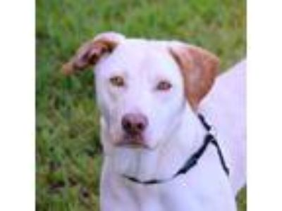 Adopt Jones a White Retriever (Unknown Type) / Mixed dog in Loxahatchee