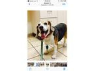 Adopt Gracie a Black - with Tan, Yellow or Fawn Beagle dog in Kingsport