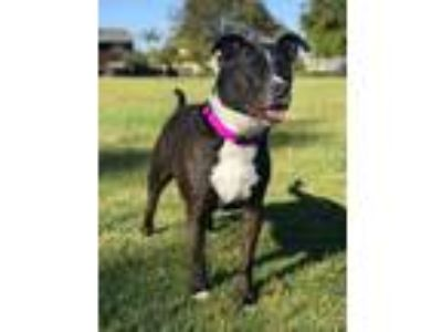 Adopt Betsy a Black - with White Pit Bull Terrier / Labrador Retriever / Mixed