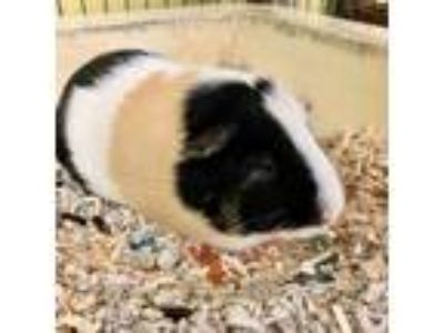 Adopt Twinkle a White Guinea Pig / Mixed small animal in Largo, FL (25828882)