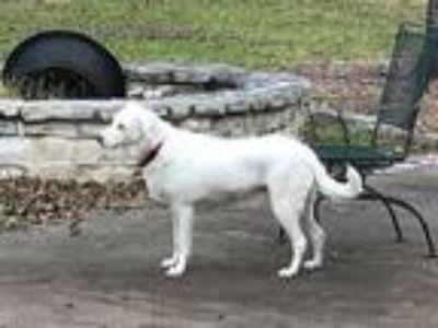 Adopt Helen a White Catahoula Leopard Dog / Mixed dog in GRANBURY, TX (20572667)