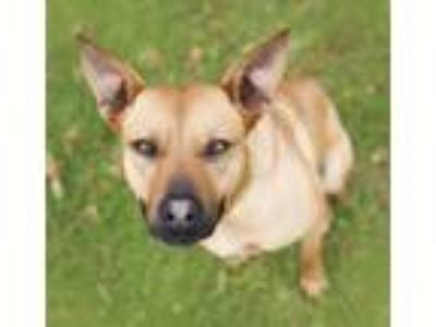 Adopt Travis a German Shepherd Dog, Labrador Retriever