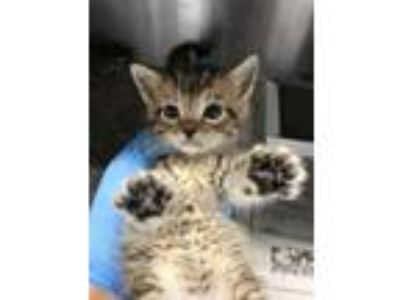 Adopt kitten 4 a Brown or Chocolate Domestic Shorthair / Domestic Shorthair /
