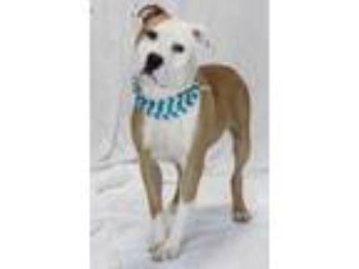 Adopt Dillon a Brown/Chocolate American Pit Bull Terrier / Mixed dog in