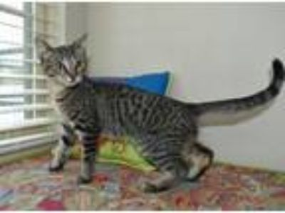Adopt Meatball a Domestic Short Hair