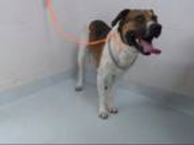 Adopt JOHNNY a Pointer, Australian Cattle Dog / Blue Heeler
