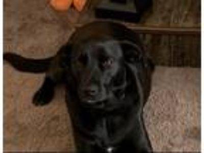 Adopt Brooks a Black Labrador Retriever / Mixed dog in Nevada, MO (25087848)