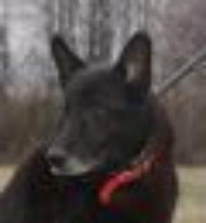 Thor German Shepherd Dog Dog