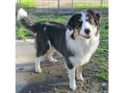 Adopt Piper a Black English Shepherd / Mixed dog in Fayetteville, TN (25175937)