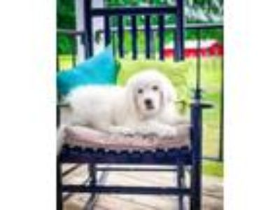 Adopt Baby Girl Great Pyrenees a Great Pyrenees