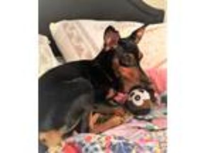 Adopt Shiloh a Black - with Tan, Yellow or Fawn Miniature Pinscher / Mixed dog