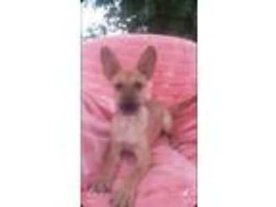 Adopt Lucy a Red/Golden/Orange/Chestnut - with Black Shepherd (Unknown Type) /