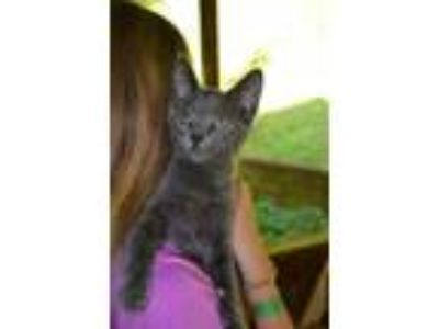 Adopt Emily a Domestic Short Hair