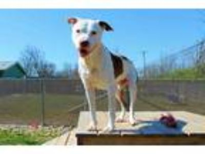 Adopt MOSSY a Brown/Chocolate - with White American Pit Bull Terrier / Mixed dog