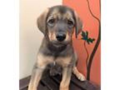 Adopt Ezra a Black - with Tan, Yellow or Fawn Hound (Unknown Type) / Mixed dog