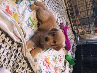 Golden Retriever PUPPY FOR SALE ADN-88041 - Kings Goldens Freedom Pups