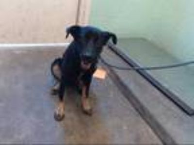 Adopt TRUDY a Black - with Tan, Yellow or Fawn German Shepherd Dog / Mixed dog