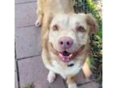 Adopt SWEETY a Tan/Yellow/Fawn - with White Labrador Retriever / Spaniel
