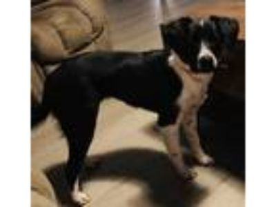 Adopt Izzy JuM a Black - with White Border Collie / Beagle / Mixed dog in
