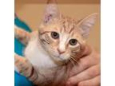 Adopt Buzz a Orange or Red (Mostly) Domestic Shorthair / Mixed (short coat) cat