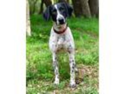 Adopt KOBE a White - with Black Pointer / Labrador Retriever / Mixed dog in