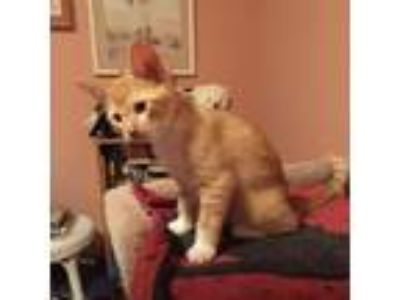 Adopt Marmalade a Orange or Red Domestic Shorthair cat in Pendleton