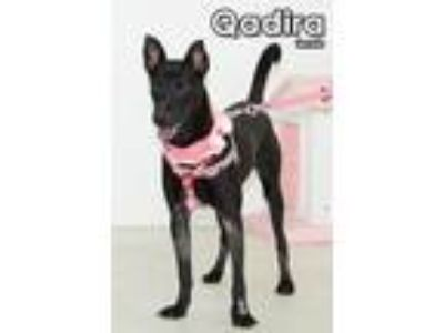 Adopt Qadira from Taiwan a Mountain Dog, Labrador Retriever