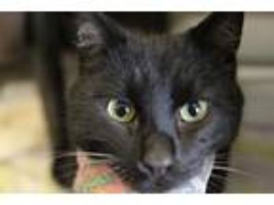 Adopt Homer a All Black Domestic Shorthair / Mixed cat in Independence