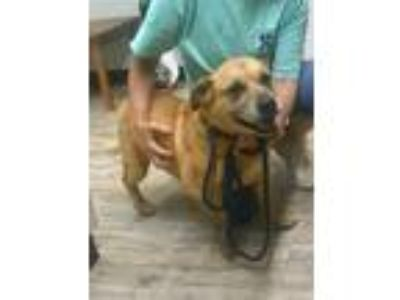 Adopt Tank a Tan/Yellow/Fawn Corgi / German Shepherd Dog / Mixed dog in Sautee